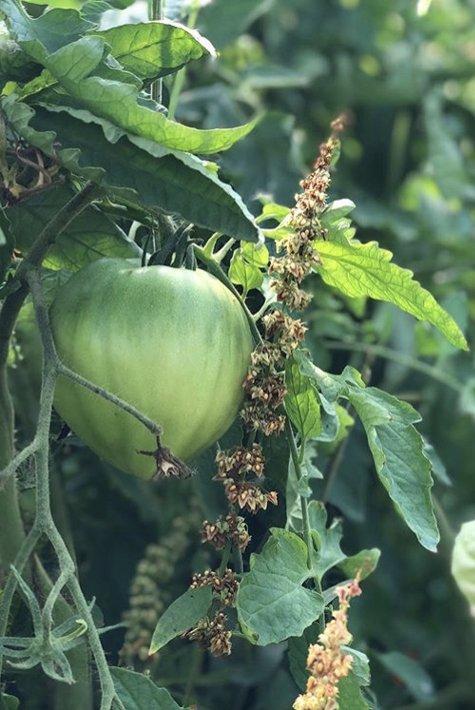 le Bellevue - tomate - 475x710
