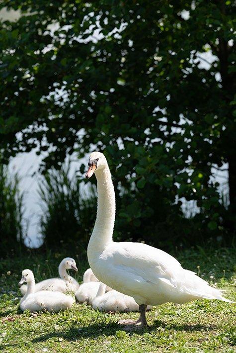 Swans to watch at the Marais de Blonville-Villers